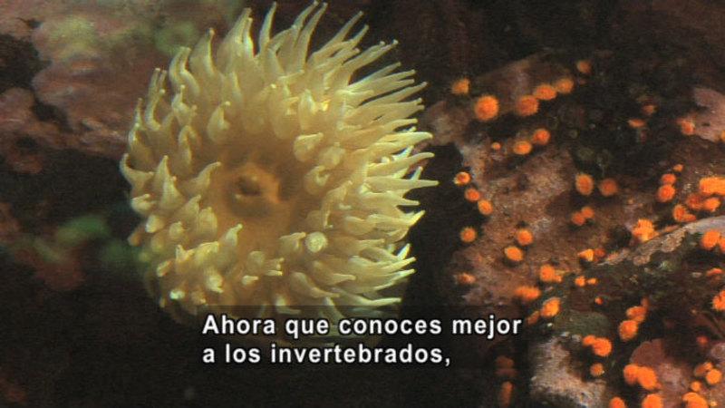 Sea anemone. Spanish captions.