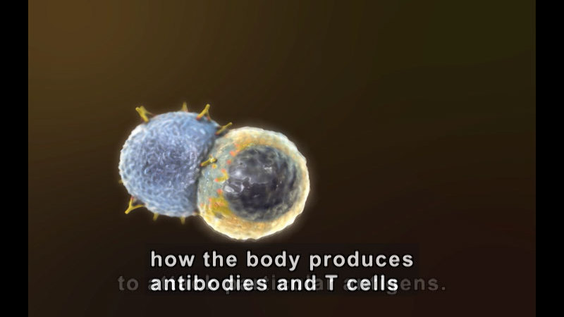 Illustration of two cells, one with spiky structures being overtaken by the other. Caption: how the body produces antibodies and T cells