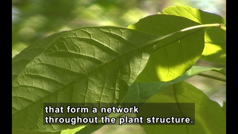Closeup of vibrant green leaves. Caption: that form a network throughout the plant structure.