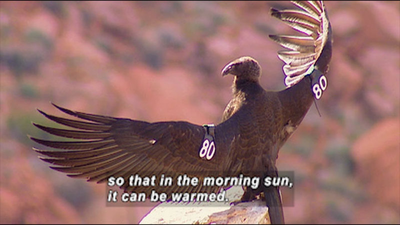 """A large bird with wings spread and a tag on each wing that has """"80"""" printed on it. Caption: so that in the morning sun, it can be warmed."""