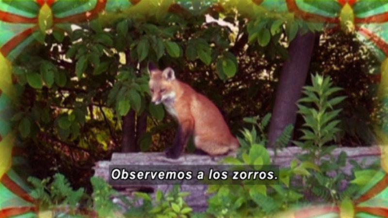 A fox sitting on a log. Spanish captions.