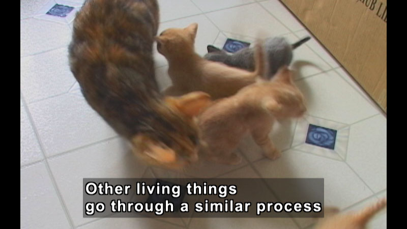 An adult cat surrounded by kittens on a linoleum floor. Caption: Other living things go through a similar process