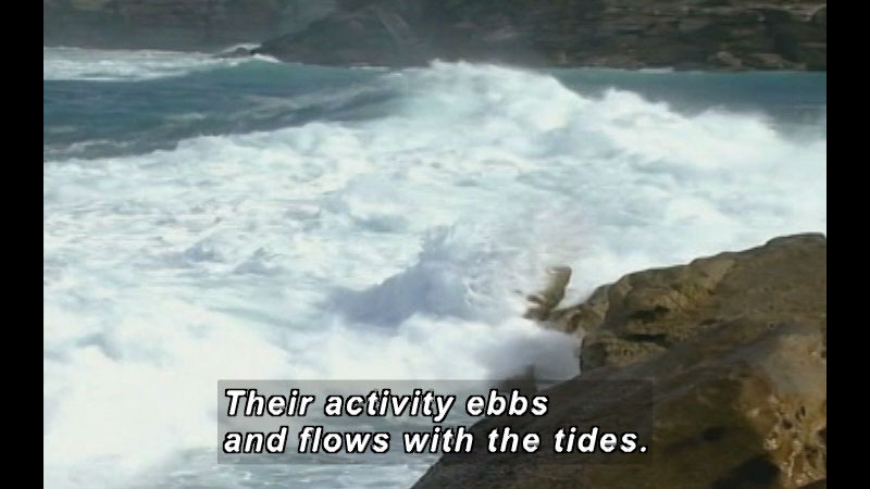 White foaming waves crash on a rocky shore. Caption: Their activity ebbs and flows with the tides.