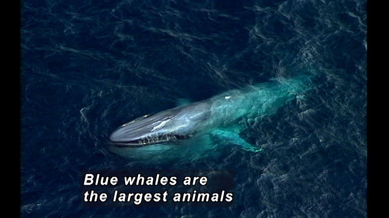 A blue whale in the water, from above. Caption: Blue whales are the largest animals