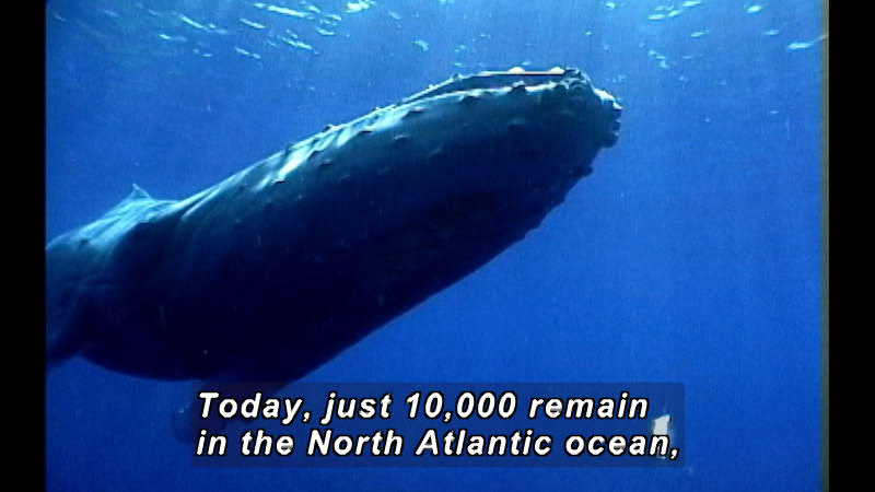 A humpback whale seen from below. Caption: Today, just 10,000 remain in the North Atlantic ocean,