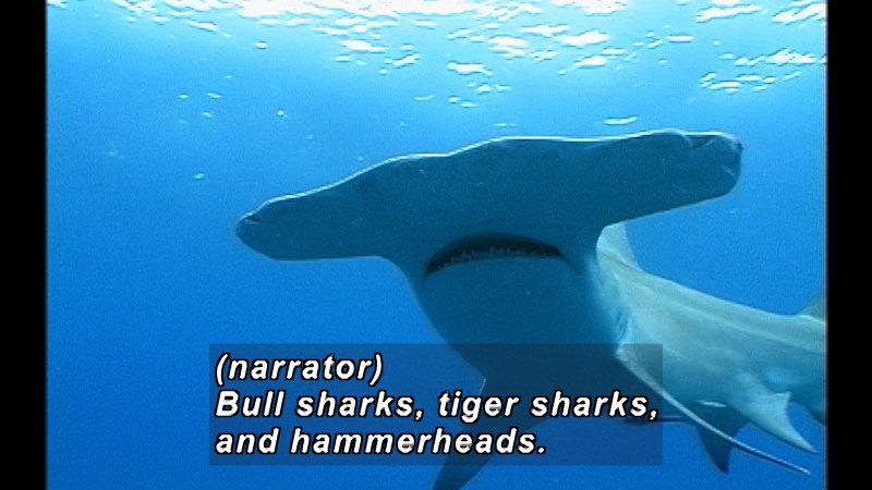 A hammerhead shark, seen from below. Caption: (narrator) Bull sharks, tiger sharks, and hammerheads.