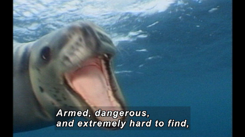 A leopard seal with its mouth open. Caption: Armed, dangerous, and extremely hard to find,