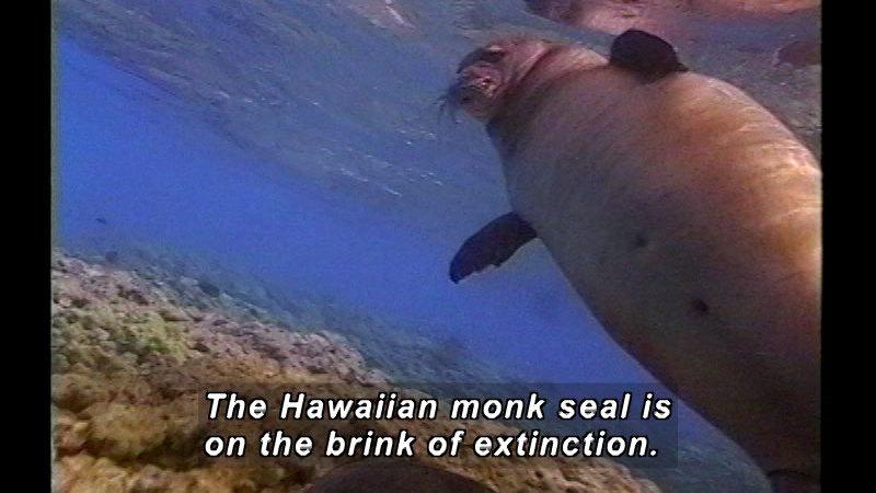 A Hawaiian monk seal as seen from below. Caption: The Hawaiian monk seal is on the brink of extinction.