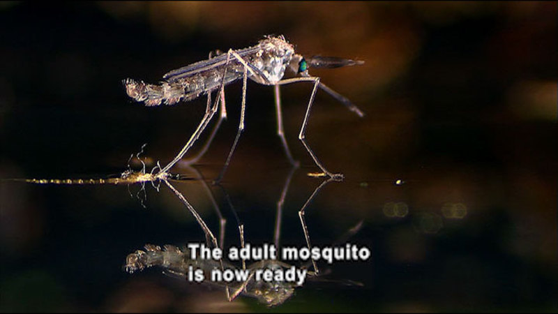 Closeup view of a mosquito. Caption: The adult mosquito is now ready