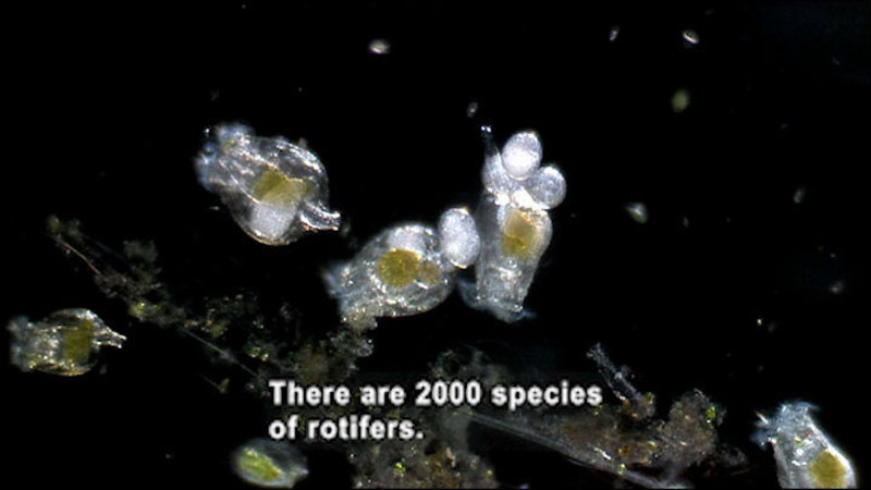 Microscope view of oval shaped organisms with globular protrusions. Caption: There are 2000 species of rotifers.