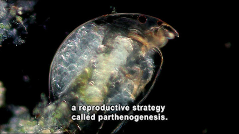Microscopic view of a transparent roundish organism with a visible face and legs. Caption: a reproductive strategy called parthenogenesis.