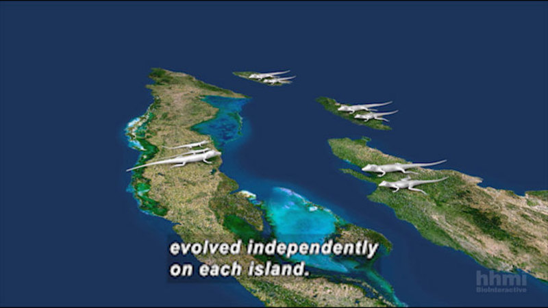 Graphic of four islands close to each other. Each island has lizards on it. Caption: evolved independently on each island.