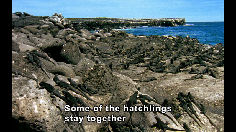 Many iguanas sunning themselves on rock outcroppings next to the ocean. Caption: Some of the hatchlings stay together