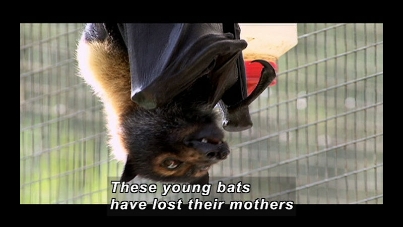 Still image from Wild Chronicles: Flying Foxes and Tick Paralysis