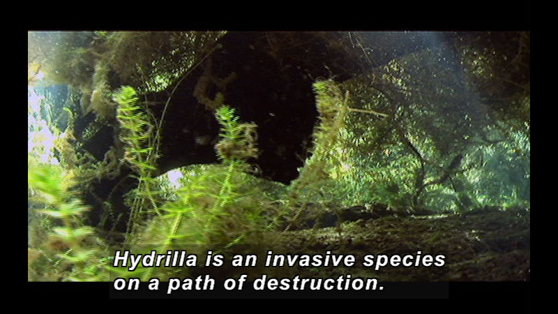 Still image from Wild Chronicles: Hydrilla