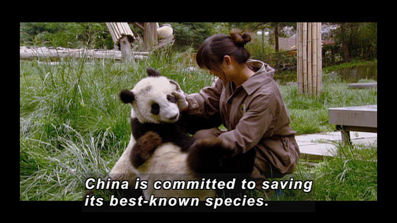 Still image from Wild Chronicles: Earthquake Impact on China's Panda Reserve