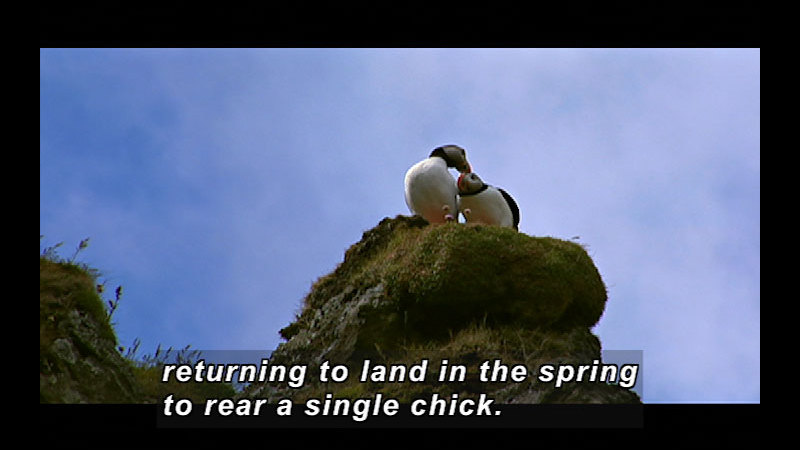 A pair of white bird with black head and back and an orange beak sit in on a mossy rock. Caption: returning to land in the spring to rear a single chick.