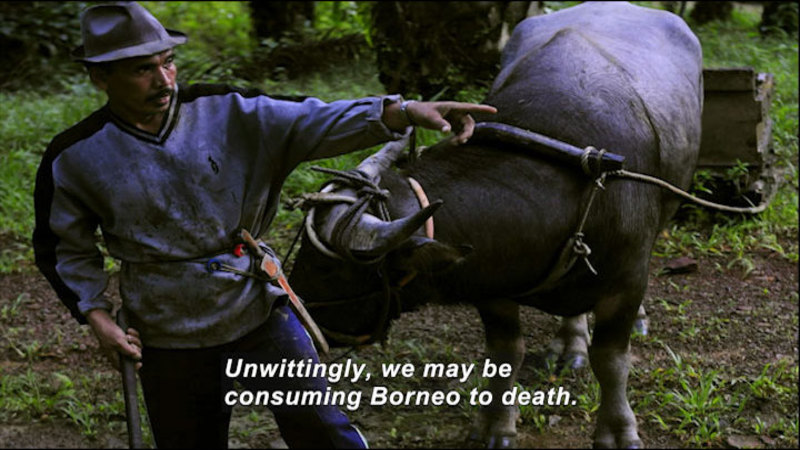 Person walking in front of an oxen pulling a cart through a forest. Caption: Unwittingly, we may be consuming Borneo to death.