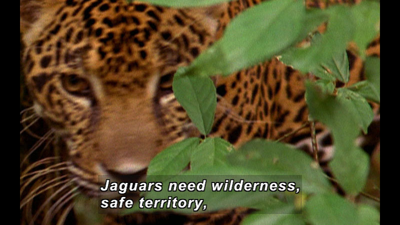 Still image from Wild Chronicles: Impact Of Human Encroachment On Jaguars