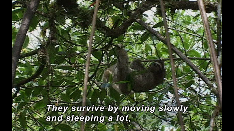 A sloth hangs from a tree. Caption: They survive by moving slowly and sleeping a lot,