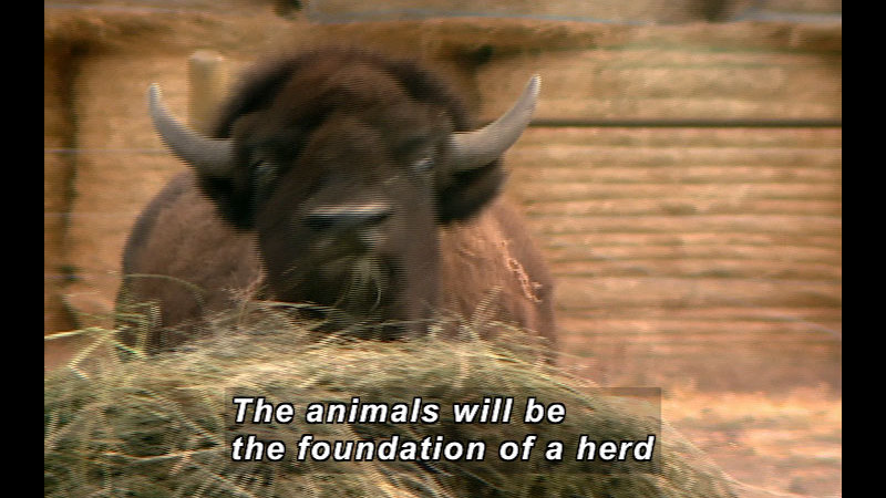 A bison eats from a pile of hay. Caption: The animals will be the foundation of a herd.
