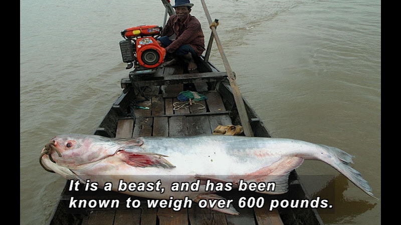 Still image from Wild Chronicles: Mekong Giant Catfish