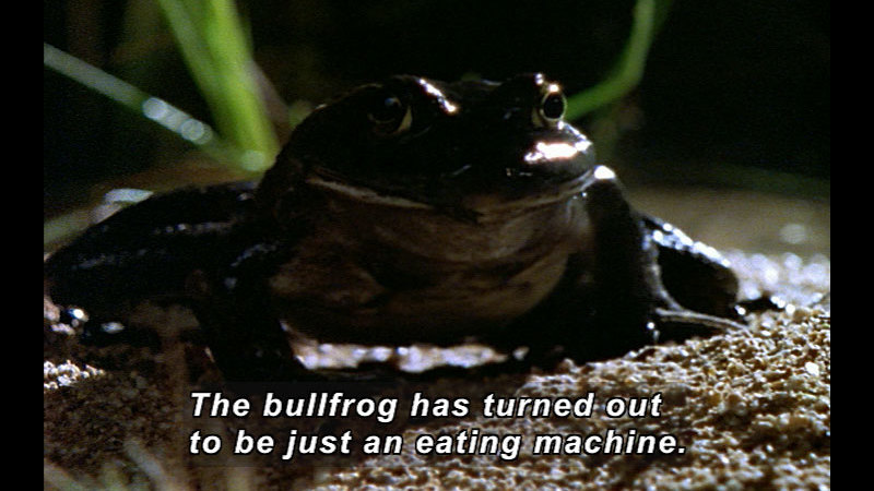 Closeup of a frog. Caption: The bullfrog has turned out to be just an eating machine.