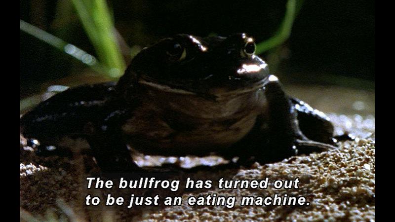 Still image from Wild Chronicles: Bullfrogs Invade Arizona