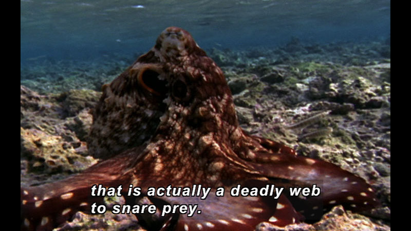 Still image from Wild Chronicles: Octopus Behavior