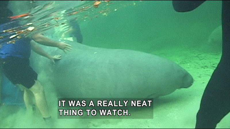 Manatee in shallow water with people standing around it. Caption: It was a really neat thing to watch.