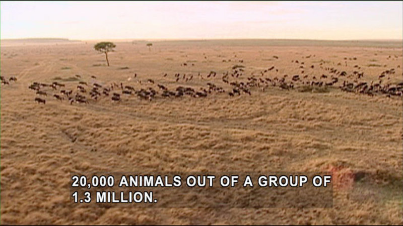 Large plain with a very few trees and a large herd of mammals in the distance. Caption: 20,000 animals out a group of 1.3 million.