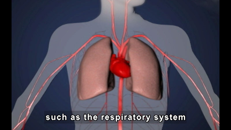 Diagram of human upper body with heart, lungs, and circulatory system visible. Caption: such as the respiratory system