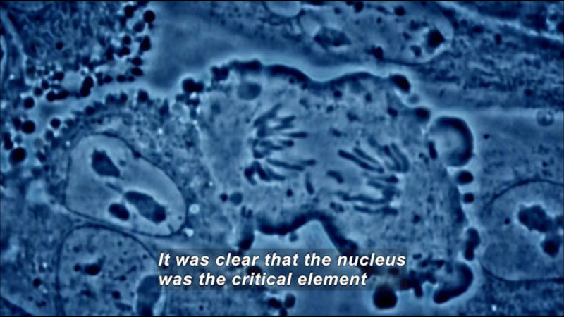 Microscopic close up of cells. Cell walls and internal organ structure visible. Caption: It was clear that the nucleus was the critical element