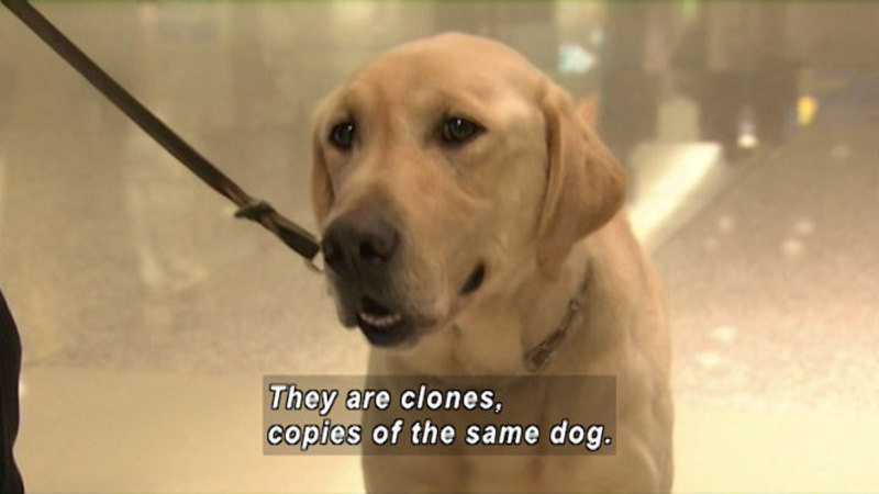 Close up of a yellow Labrador dog on a leash. Caption: They are clones, copies of the same dog.