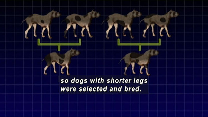 Diagram showing two pairs of dogs resulting in two dogs, each with shorter legs. Caption: so dogs with shorter legs were selected and bred.: