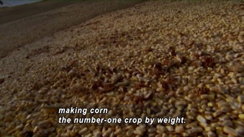 Closeup of a huge pile of kernels of dried corn. Caption: making corn the number-one crop by weight.