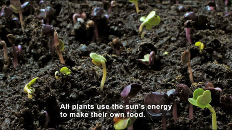 Plants growing through the dirt. Caption: All plants use the sun's energy to make their own food.