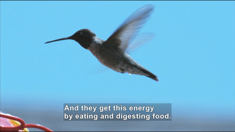 Hummingbird hovering in the air. Caption: And they get this energy by eating and digesting food.