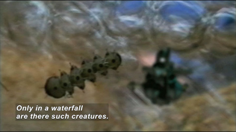 Magnified view of a very small animal with a segmented body and many legs. Caption: Only in a waterfall are there such creatures.