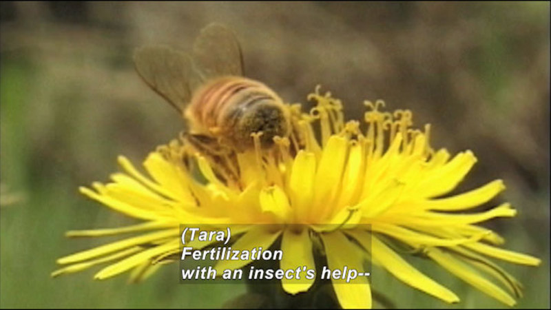 Closeup of a bee on a yellow flower. Caption: (Tara) Fertilization with an insect's help--
