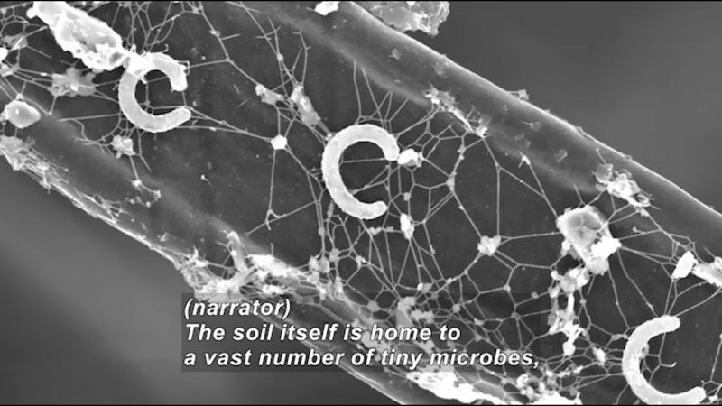 Microscopic image showing web-like structures and C shaped tubular organisms. Caption: (narrator) The soil itself is home to a vast number of tiny microbes,