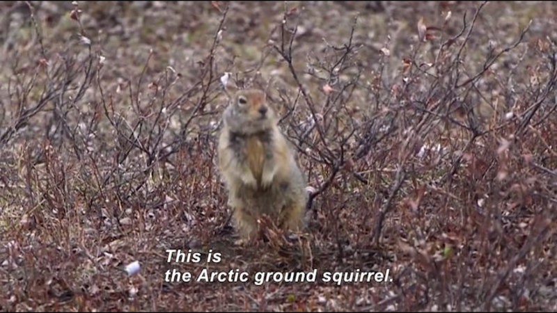 Small furry animal perched on two legs in woody scrub with no leaves. Caption: This is the Arctic ground squirrel.