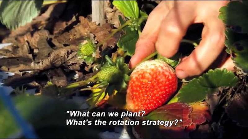 """Person handling a partially ripe strawberry still on the vine. Caption: """"What can we plant? What's the rotation strategy?"""""""