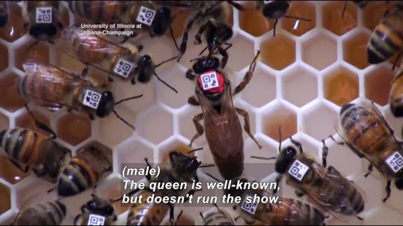 Bees in a hive. They have identifying chips glued to their back. One bee is larger than the rest and has bright colored glue affixing the chip. Caption: (male) The queen is well-known, but doesn't run the show.
