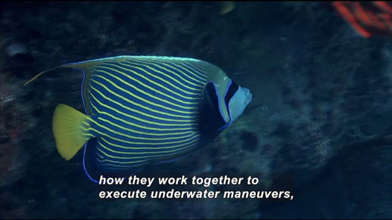 Brightly colored tropical fish. Caption: how they work together to execute underwater maneuvers,