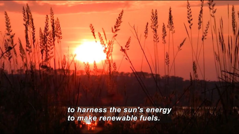 Setting sun as seen through tall wild grasses. Caption: to harness the sun's energy to make renewable fuels.