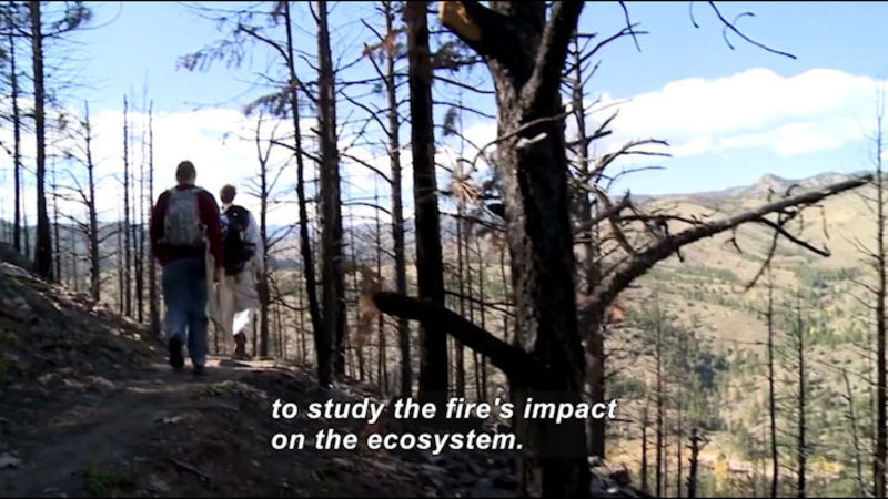 People walking on a trail among burned trees. Caption: to study the fire's impact on the ecosystem.