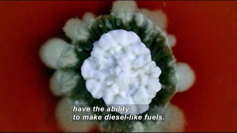 Closeup of a green, circular plant with a white center. Caption: have the ability to make diesel-like fuels.