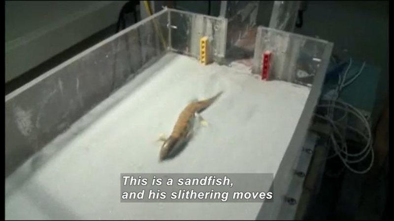 Still image from Science Nation: Sandfish Lizard Slithers Into Science Spotlight