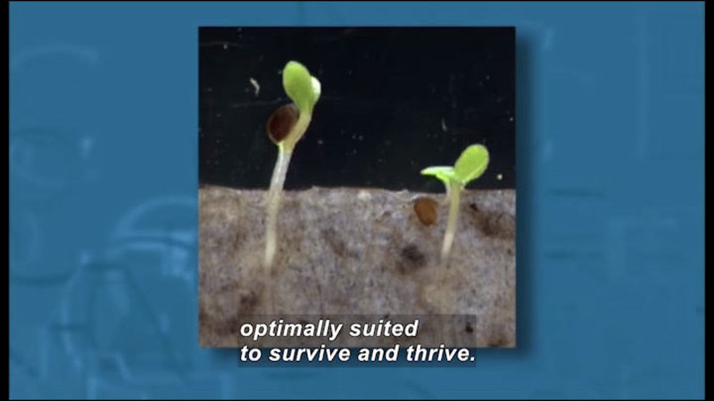 Two small seedlings with their roots in the soil. Caption: optimally suited to survive and thrive.